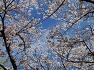 벚꽃 만발한 만리산의 봄