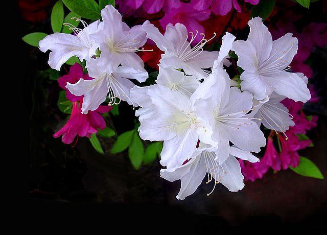 철쭉꽃에 대한 이미지 검색결과