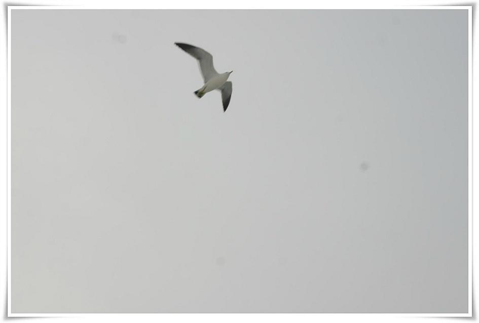 날고있는 갈매기의 모습
