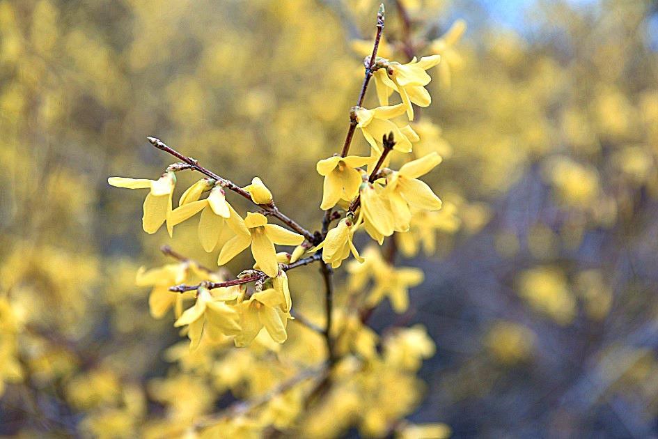 ソウル春の花名所城東区琴湖洞ウンボンサンレンギョウ祭り
