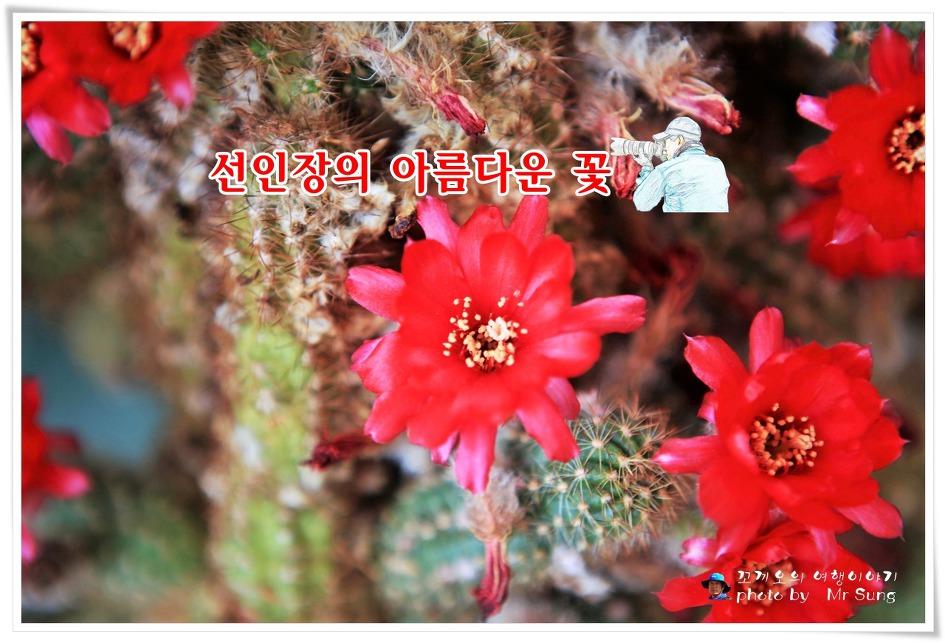 {대구시 달서구} 수목원 온실에서 자생하는 선인장의 아름다운 꽃
